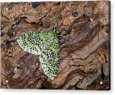 Yellow-barred Brindle Moth Acrylic Print by Nigel Downer