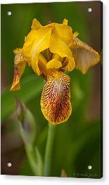 Yellow Bearded Iris Acrylic Print