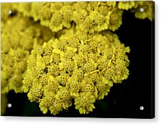 Yellow Beauties Acrylic Print by John Holloway