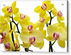Yellow Beauties Acrylic Print