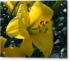 Yellow Beauty Acrylic Print