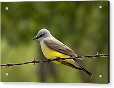 Yellow-bellied Fence-sitter Acrylic Print