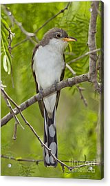 Yellow-billed Cuckoo Acrylic Print by Anthony Mercieca