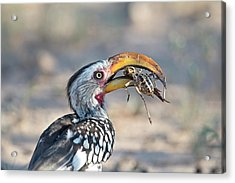 Yellow-billed Hornbill Eating A Cricket Acrylic Print by Tony Camacho