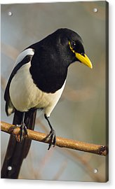 Yellow-billed Magpie Acrylic Print by Doug Herr