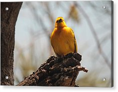 Yellow Bird In Trees Acrylic Print