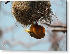 Yellow Bird Retuns To Nest Acrylic Print