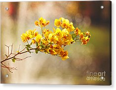 Yellow Bougainvillea Acrylic Print by Sally Simon