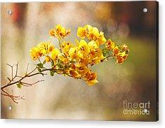 Yellow Bougainvillea Acrylic Print