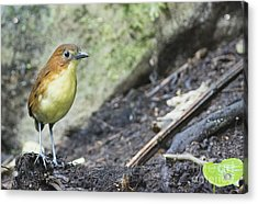 Yellow-breasted Antpitta Acrylic Print