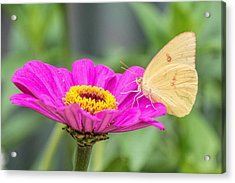Acrylic Print featuring the photograph Yellow Butterfly  by Jeanne May