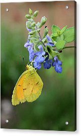 Yellow Butterfly On Blue Sage Acrylic Print