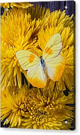 Yellow Butterfly On Yellow Mums Acrylic Print by Garry Gay