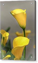 Yellow Calla Lilies Acrylic Print by Menachem Ganon