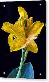 Yellow Canna Flower Acrylic Print by Garry Gay