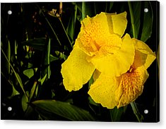 Yellow Canna Singapore Flower Acrylic Print by Donald Chen
