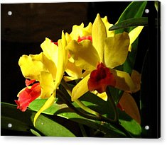 Yellow Cattleya Orchid Acrylic Print by Alfred Ng