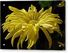 Yellow Chrysanthemum Acrylic Print by Jennifer Nelson