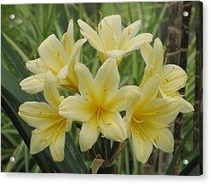 Yellow Clivia Lily Acrylic Print by Alfred Ng