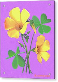 Yellow Clover Flowers Acrylic Print