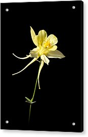Yellow Columbine On Black Acrylic Print