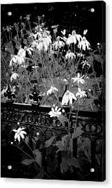 Yellow Coneflowers Echinacea Wrought Iron Gate Bw Acrylic Print by Rich Franco