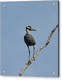 Acrylic Print featuring the photograph Yellow-crowned Night Heron by Dana Sohr