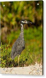 Yellow Crowned Night Heron Dune Watch Acrylic Print