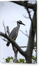 Yellow Crowned Night Heron Acrylic Print by Marta Alfred