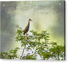 Yellow-crowned Night Heron Swaying In The Wind Acrylic Print by J Larry Walker