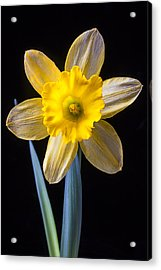 Yellow Daffodil Acrylic Print by Garry Gay