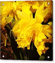 Yellow Daffodils Acrylic Print by Christy Beckwith
