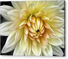 Yellow Dahlia Acrylic Print by Janice Drew