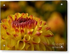Yellow Dahlia Red Tips Acrylic Print