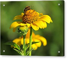 Yellow Daisy Acrylic Print by David T Wilkinson