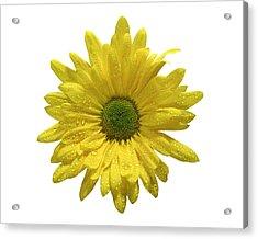 Yellow Daisy  Acrylic Print by Mauro Celotti