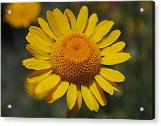 Acrylic Print featuring the photograph Yellow Daisy  by Robert  Moss