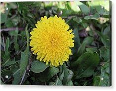 Yellow Dandelion Acrylic Print by Khoa Luu