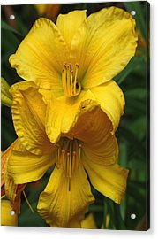Yellow Day Lilies Acrylic Print by Jennifer Nelson