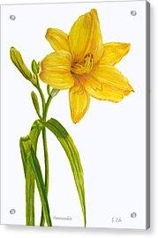 Yellow Daylily - Hemerocallis Acrylic Print
