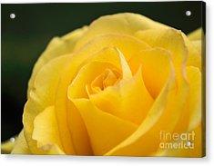 Yellow Delight Acrylic Print by Arlene Carmel