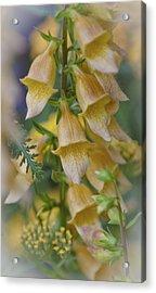 Yellow Digitalis Acrylic Print