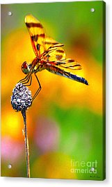 Yellow Dragon Acrylic Print by Adam Olsen