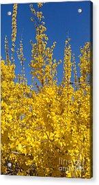 Yellow Explosion Acrylic Print by Melissa Petrey