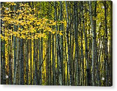 Yellow Fall Birch Leaves Against An Acrylic Print by Joel Koop