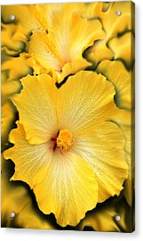Yellow Fantasy Hibiscus Flowers Acrylic Print by Jennie Marie Schell