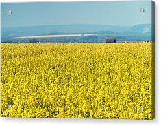 Yellow Field Acrylic Print by Svetlana Sewell