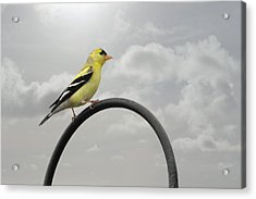 Yellow Finch A Bright Spot Of Color Acrylic Print