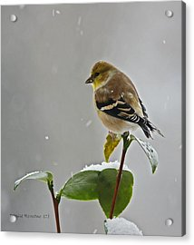 Yellow Finch Acrylic Print by Denise Romano