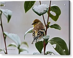 Goldfinch On Branch Acrylic Print